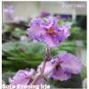 Bol's Evening Irja - (Wasp)