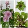 Old Fashion Rose - Semiminiature