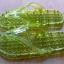 K013-DGR **พร้อมส่ง** (ปลีก+ส่ง) รองเท้านวดสปา เพื่อสุขภาพ ปุ่มเล็ก (ใส) หูหนีบ สีเขียวขี้ม้า ส่งคู่ละ 80 บ. thumbnail 4